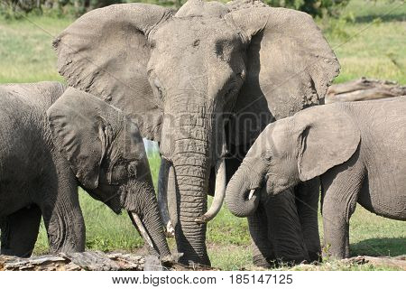 Three African elephants (Loxodonta africana) gather to feed. Ol Pejeat Conservancy Kenya.