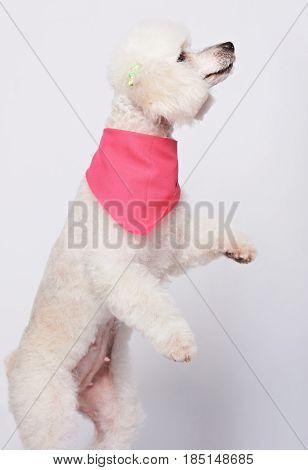 Dancing White Poodle Dog