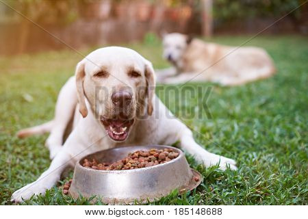 Labrador Eat From Metal Bowl