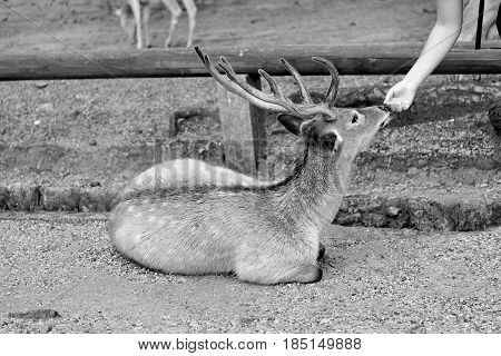 Black and white view of friendship between tourist and deer at Nara.Selective focus.