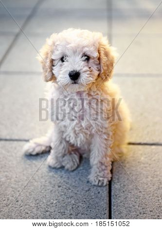 Small Toy Poodle Puppy Sitting On Grey Tiles