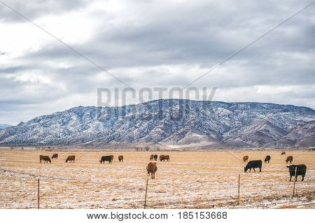 Cows in a meadow Winter Domestic Cattle Cattle Dairy Farm Field Farm