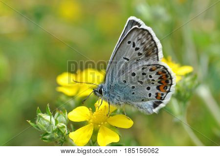 Plebejus argus, Silver Studded Blue Butterfly on yellow flower. Small blue butterfly on wild flower