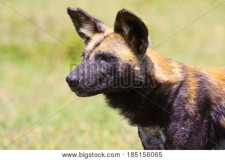 Portrait of an African wild dog (Lycaon pictus). Ol Pejeta Conservancy Kenya.
