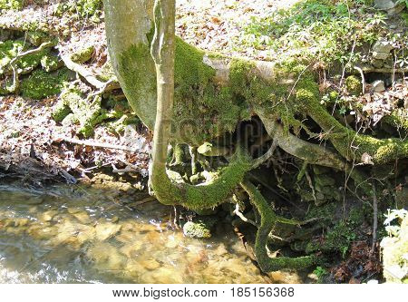 tree with revealed crooked roots growing above the brook