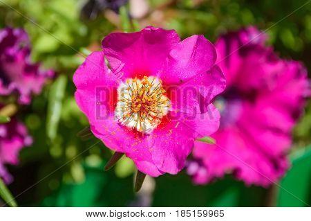 Beautiful flower of dogrose growing outside closeup