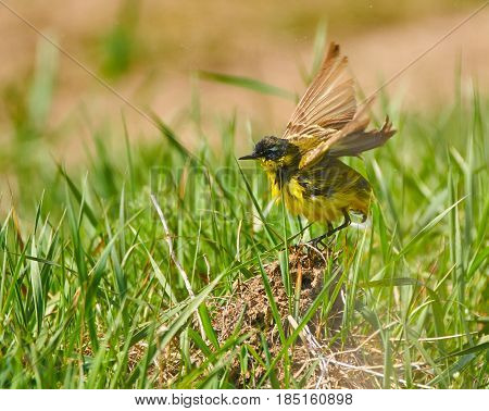Yellow Wagtail After Bath