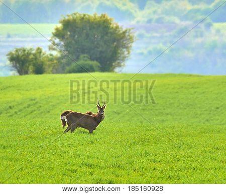 Roebuck And Roe Deers