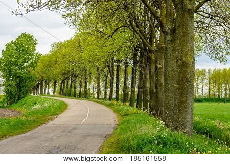 Rows of tall trees with budding young leaves in a rural landscape with a winding country road. It is springtime now.