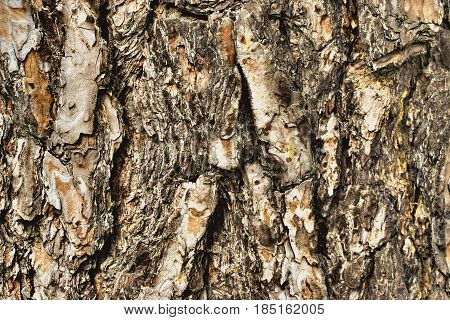 Old Wood Bark Texture Or Background. Pine Tree.