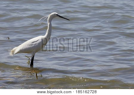 A white heron hunting small fish in the lake - garzetta (Egretta garzetta) i