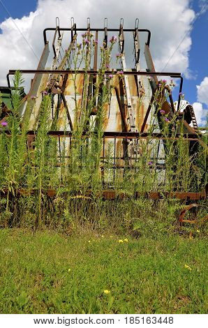 Ripe Canadian thistles grow in from an old hay walker machine for gathering the hay.