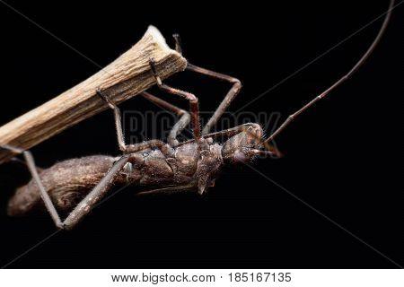 Super macro Heteroptera or True bugs on stem