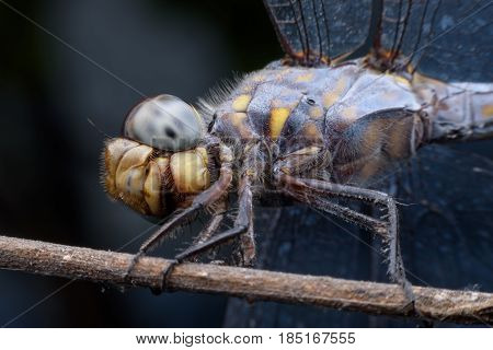 Super macro Dragonfly on branch in nature
