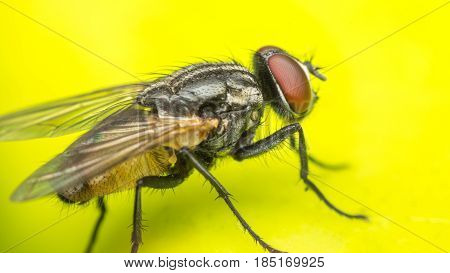 Macro Of Flies Or Fly Insect