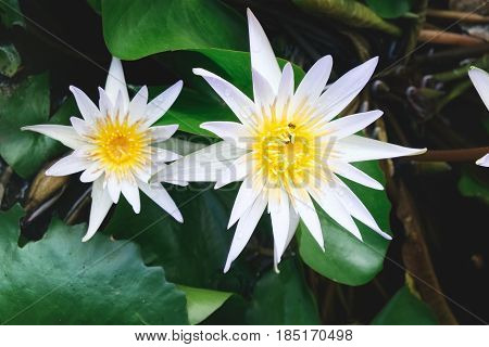 Water Lily blooming in garden pond, natural flowers background. Close up view of white lotus flower with green petals landscape at sunny summer or spring day.