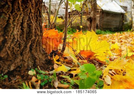 Fallen yellowed autumn leaves on the blurred background of old rural house, focus at the autumn leaves. Autumn colorful background with autumn nature. Autumn landscape view