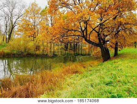 Old yellowed autumn oak trees near the pond in cloudy autumn weather - autumn forest landscape, soft focus applied. Colorful nature of autumn forest trees near the water. Autumn landscape with forest autumn trees and the river