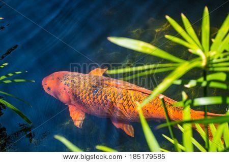 An orange Koi fish in a garden pond.