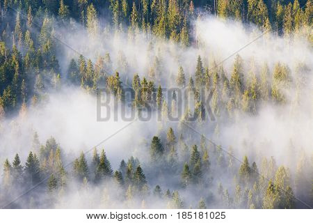 Majesty Of Nature, Misty Coniferous Forest At Sunrise. Morning In National Park