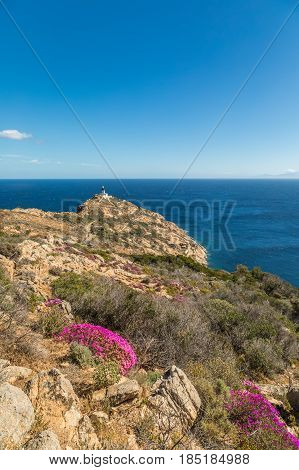 Pink Flowers On Rocky Corsican Coast With Lightouse In Distance