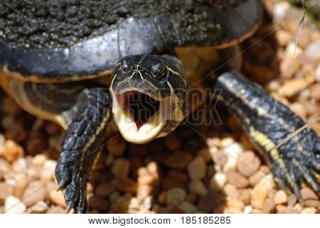 Wild turtle with his mouth open very wide.