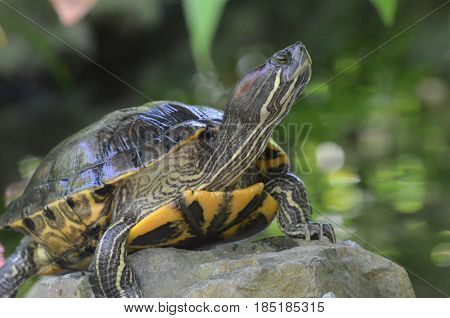Great painted turtle sitting on a rock looking up.