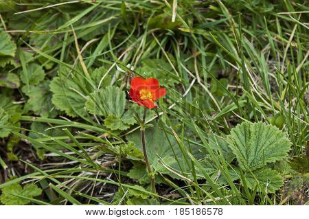 Sunlight Red Geum or avens flowers in glade, Rila mountain, Bulgaria
