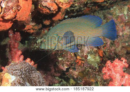Peacock Grouper fish