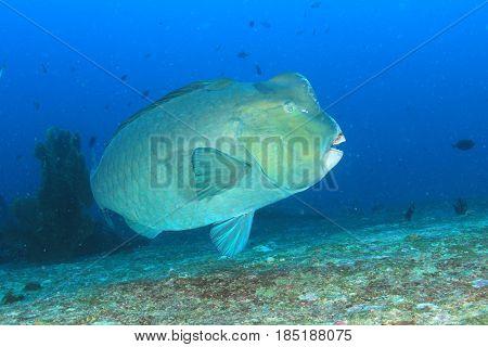 Bumphead Parrotfish fish