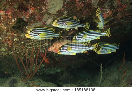 Oriental Sweetlips and snapper fish