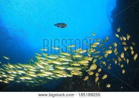 School of Bigeye Snapper fish underwater