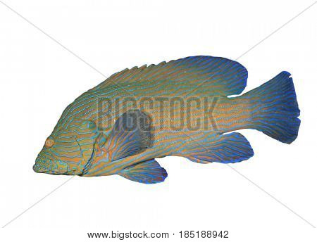 Blue-lined Grouper fish isolated on white background