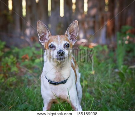 a cute rat terrier in a backyard looking at the camera