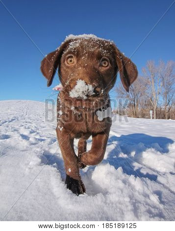 a cute chocolate lab puppy playing in the snow on a clear sunny winter day with a bright blue sky