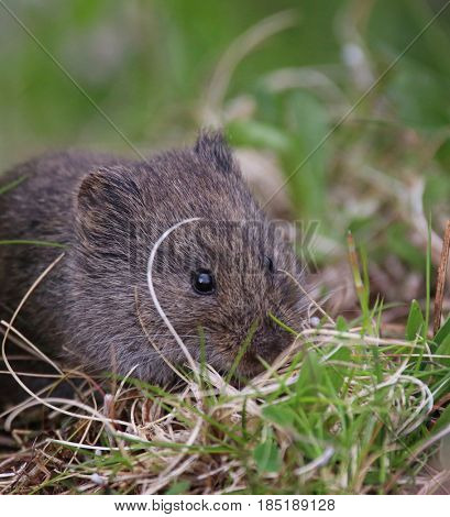 a cute small vole eating grass in a local wildlife sanctuary park refuge