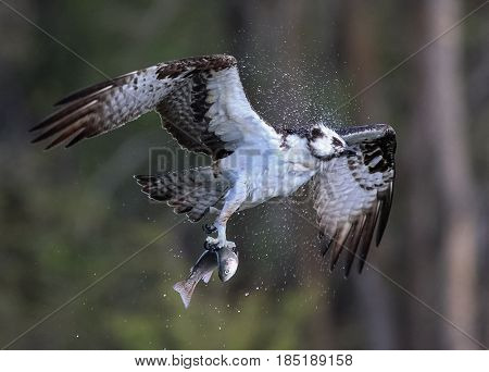 an osprey shaking off water after catching a trout