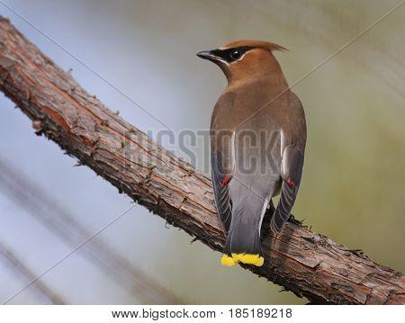 a cedar waxwing in a tree