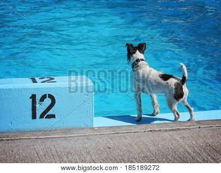 a cute dog swimming in a public pool and having a good time during the summer vacation holiday