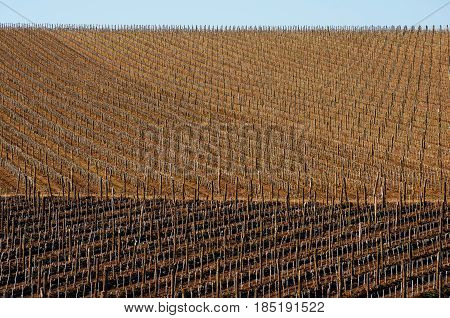 Vineyards with young vines. Wooden poles from acacia. Spring foliation.