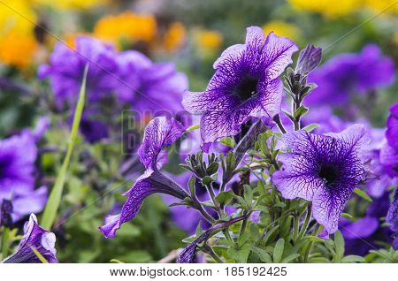 Lots of beautiful petunia flowers in the garden. This sort of petunia flowers is called Daddy Petunia.