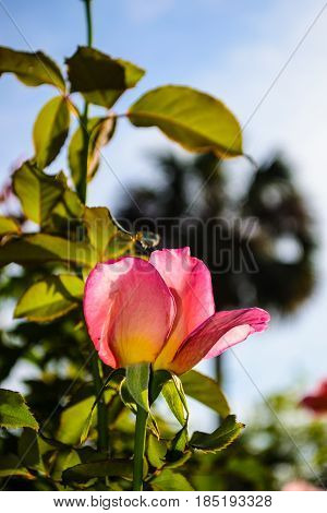 A single pink rose in a garden.