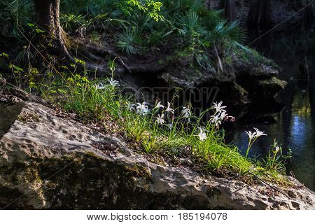 Some white Easter Lilies growing out of a rock near a spring in Florida