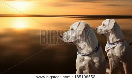 two pretty labrador retriever dogs sitting in front of the golden sea by sunset