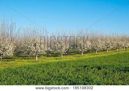 flowering - Fruit trees in the spring. Plum trees in blossom in orchard in spring