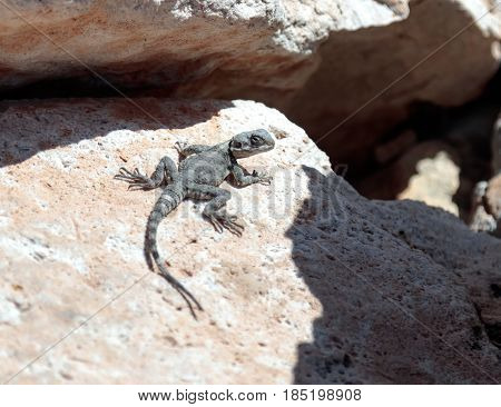 Black Lizard Sitting On A Rock On The Morning And  Basking In The Sun In Rosh Hanikra In Israel