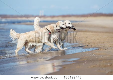 three golden retriever dogs carrying a stick