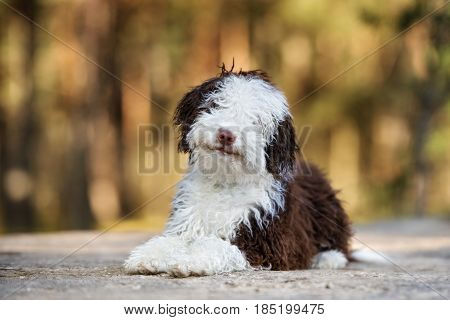spanish water dog puppy posing outdoors in summer