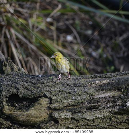 Beautiful Colorful Vibrant Village Weaver Bird In Spring Sunlight Stood On Log