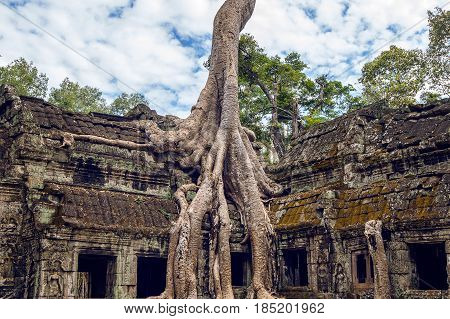 Trees Growing Out Of Ta Prohm Temple, Angkor Wat In Cambodia.